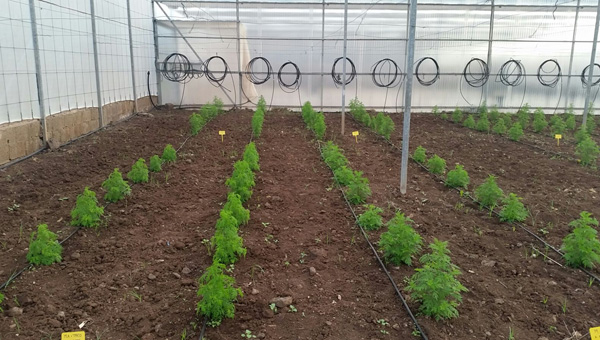 Pilot production of artemisia annua plants