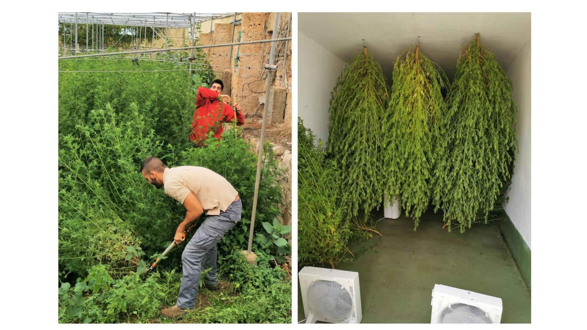 Cultivo Artennua corte y secado